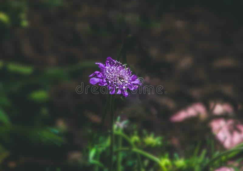 Scabiosa pourpre Gigi Blue dans le jardin image stock