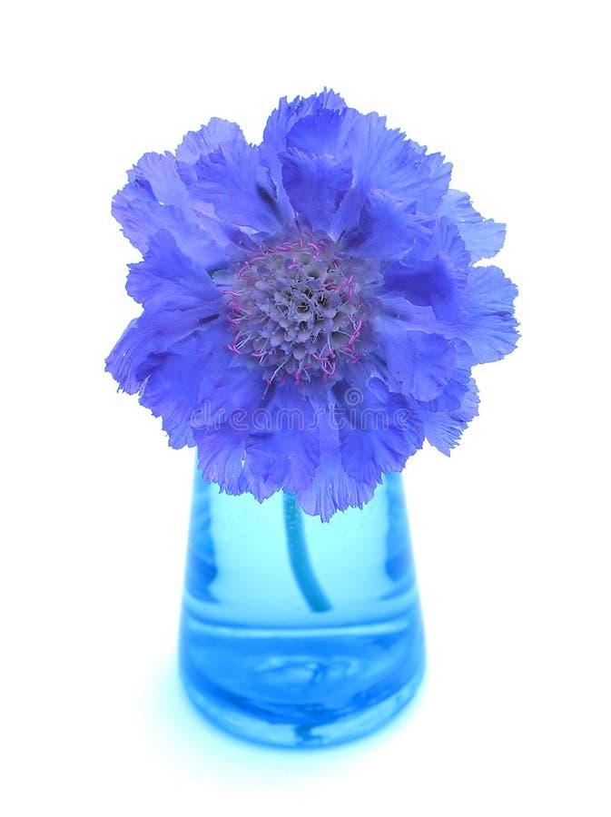 Scabiosa viola in vaso blu fotografia stock