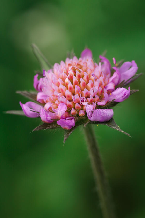 Scabious almost in bloom stock image