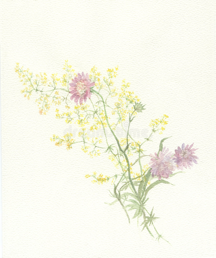 Scabious watercolor painting royalty free stock photos
