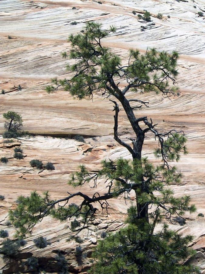 Scacchiera Meas ed albero, Zion NP immagine stock