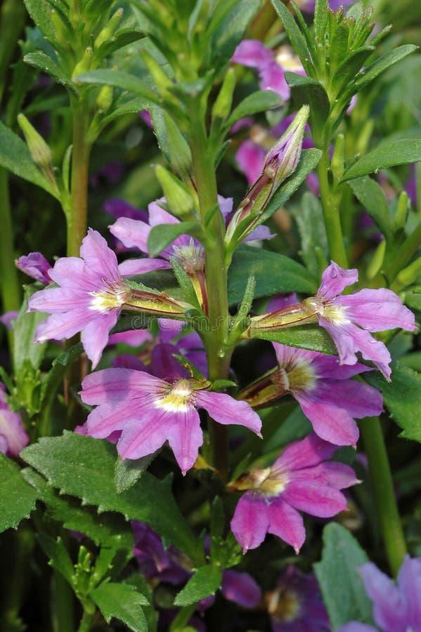 Download Scaevola Aemula 'Bombay Pink' Stock Image - Image of bombay, botanical: 39510173
