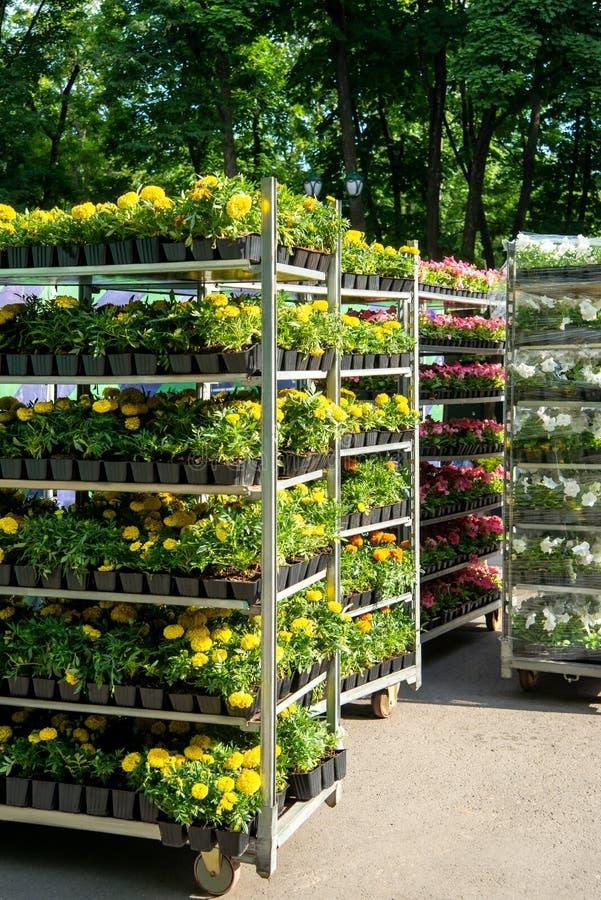 Scaffali con i fiori in vasi per la progettazione dei letti di fiore in un parco fotografie stock