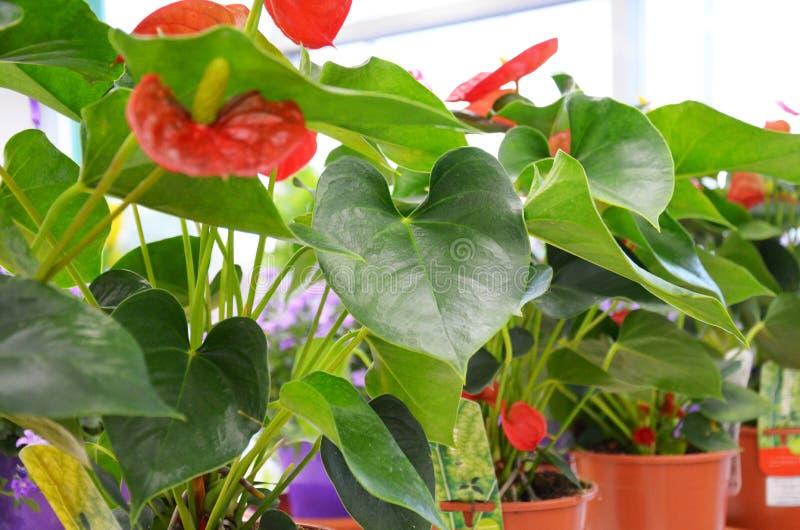 Scaffali con i vasi dei fiori fotografia stock