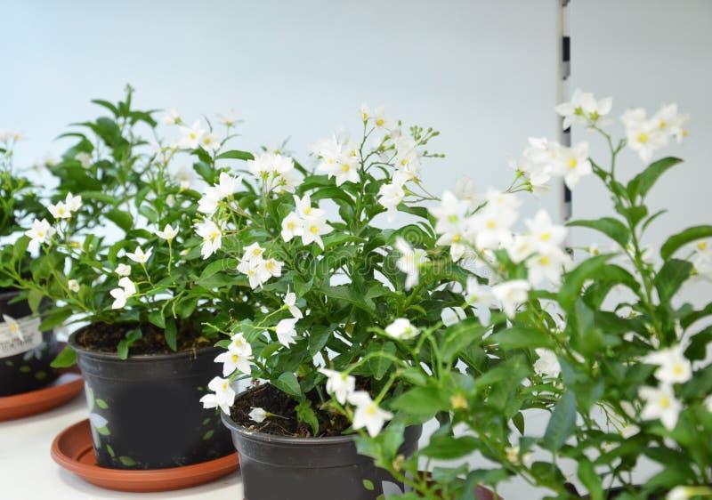 Scaffali con i vasi dei fiori immagini stock libere da diritti