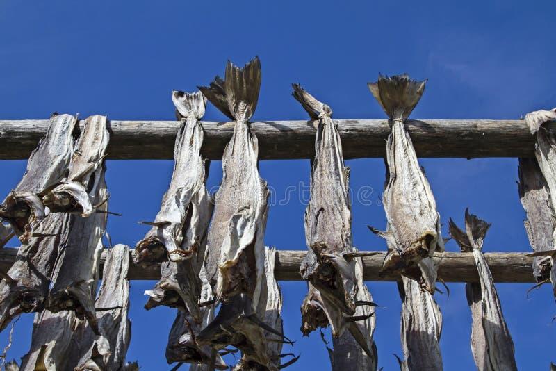 Scaffali dello stoccafisso in Lofoten fotografia stock