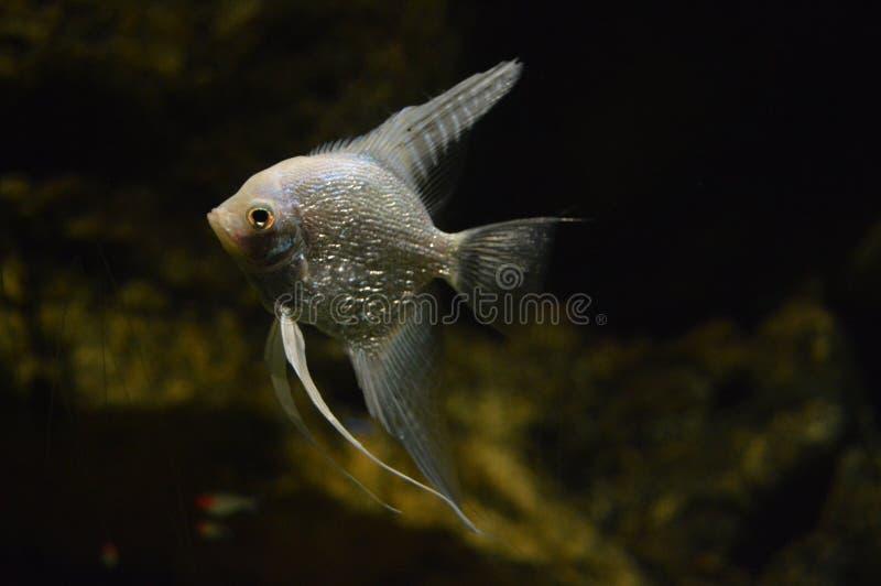 Scalare no aquário, fim de Pterophyllum acima foto de stock royalty free