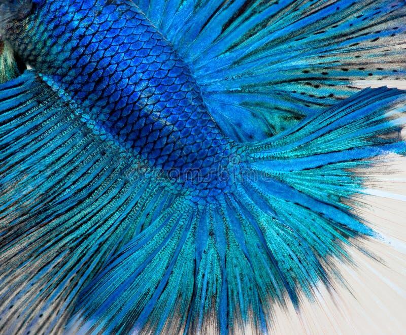Scale di pesci di Betta immagini stock