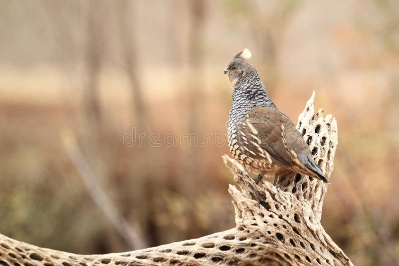 Scaled quail. The scaled quail sitting on the tree stub royalty free stock image