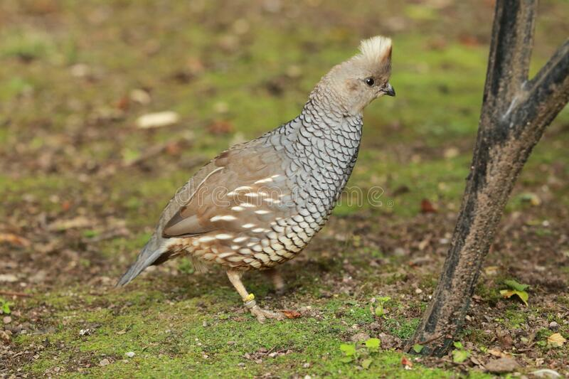 Scaled quail. Standing in the grass stock image