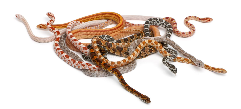 Scaleless Corn Snakes, Pantherophis Guttatus stock photo