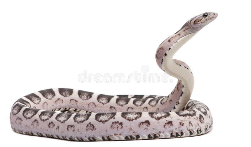 Scaleless Mais-Schlange, Pantherophis Guttatus stockbilder