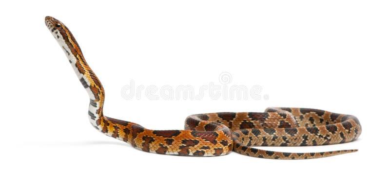 Scaleless Mais-Schlange, Pantherophis Guttatus stockfotografie