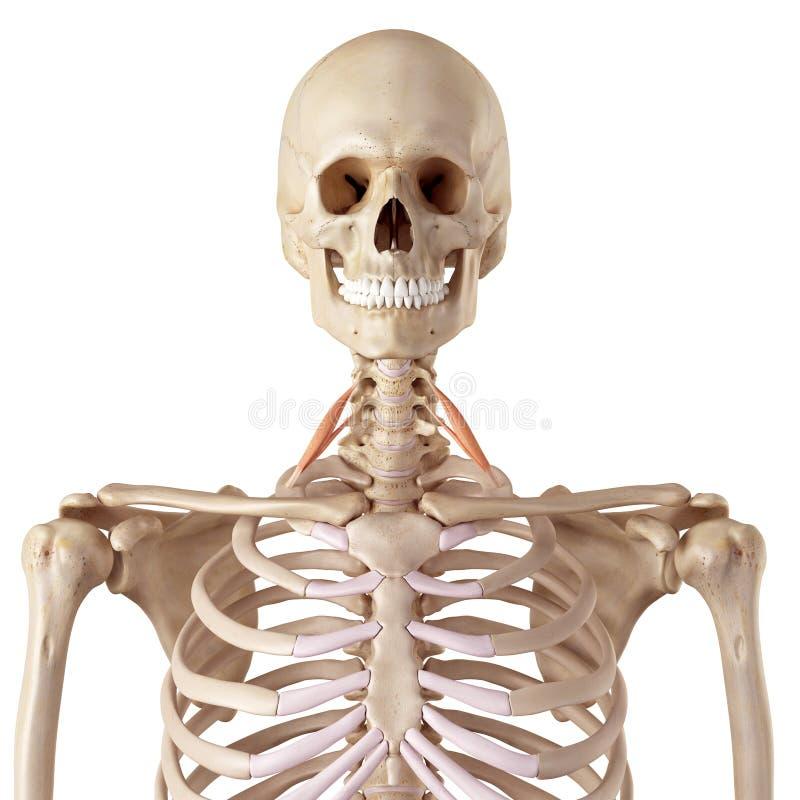The scalene anterior. Medical accurate illustration of the scalene anterior royalty free illustration
