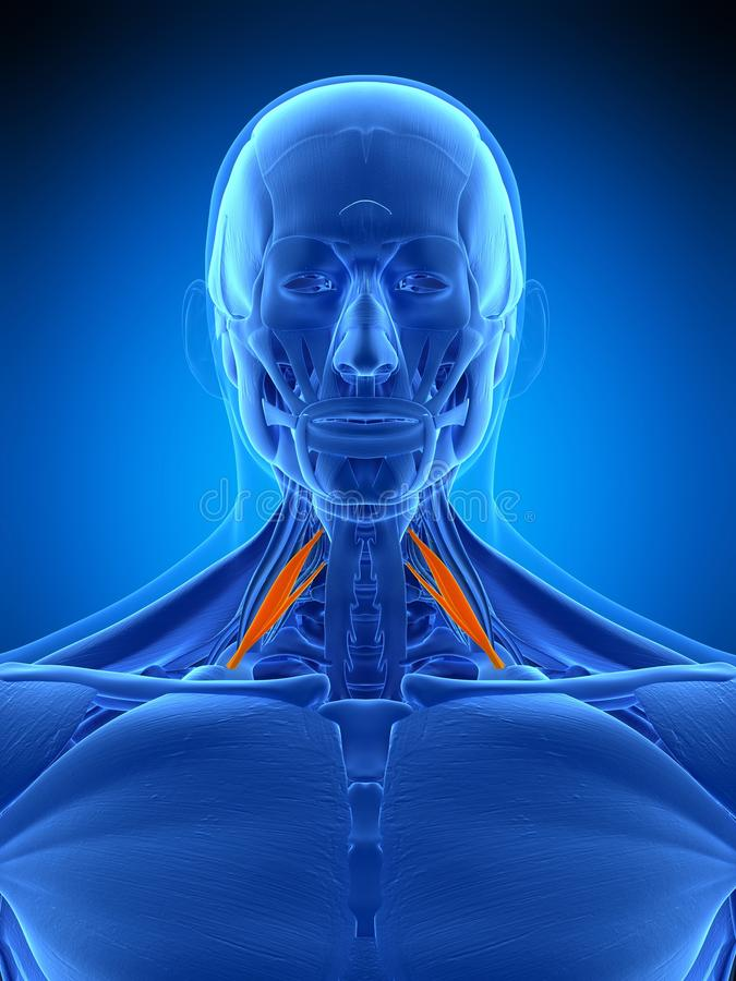The scalene anterior. Medically accurate illustration of the scalene anterior stock illustration