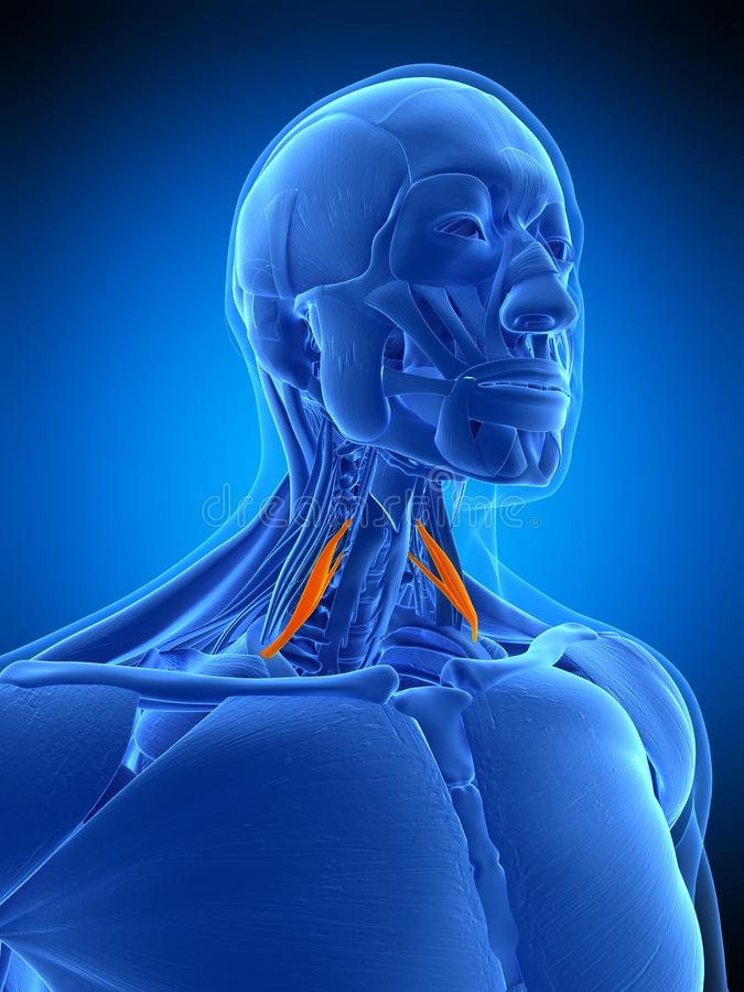 The scalene anterior. Medically accurate illustration of the scalene anterior royalty free illustration