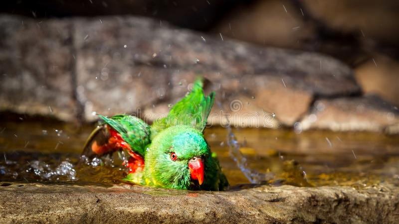 Scaley breasted lorikeet flapping its wings in the bird bath royalty free stock images