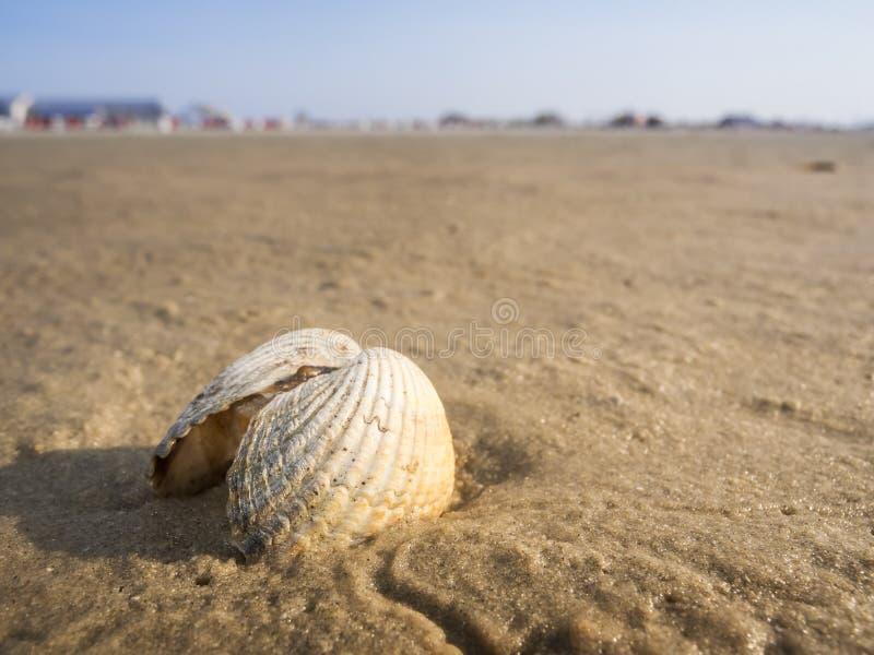 Scallop on beach in the sundown stock photography