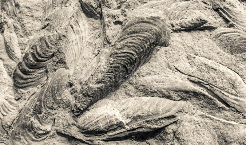 Scallop fossils. On stone - close up view royalty free stock photography