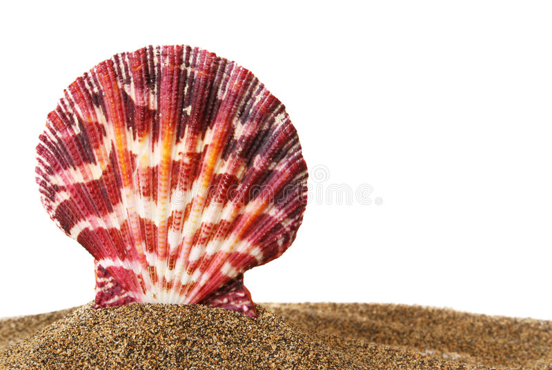 Download Scallop on Sand stock photo. Image of nature, ocean, isolated - 1415716