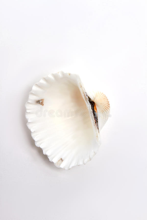 Scallop sea shell, white background. stock images