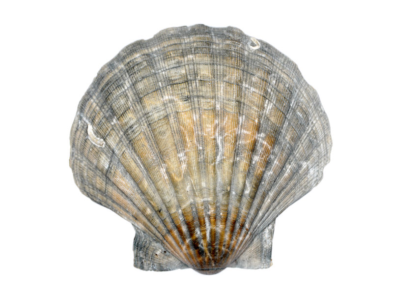 Download Scallop seashell stock photo. Image of nature, isolated - 8116480