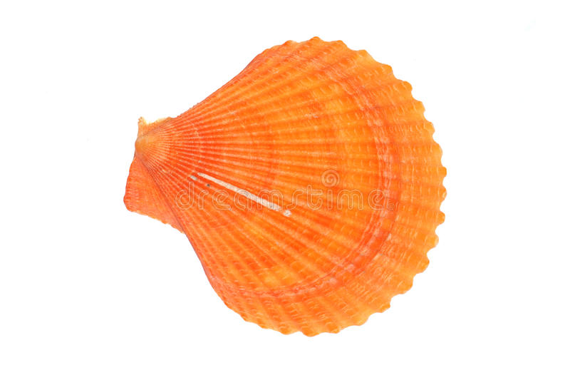 Download Scallop shell stock image. Image of scallop, shells, pink - 10589591