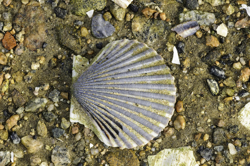 Scallop shell on beach. Scallop shell flecked with sand lying on rocky beach royalty free stock photo
