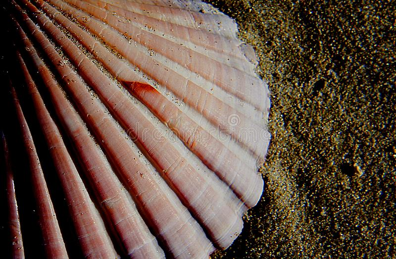 Scallop shell. stock images