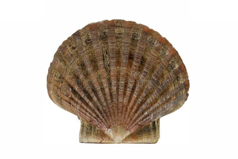 Scallop shell, (Pecten maximus). Common names are Great scallop or King scallop stock photo