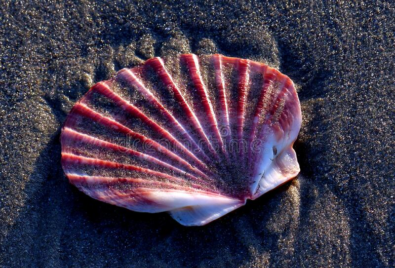 Scallop shell on the sands. stock image