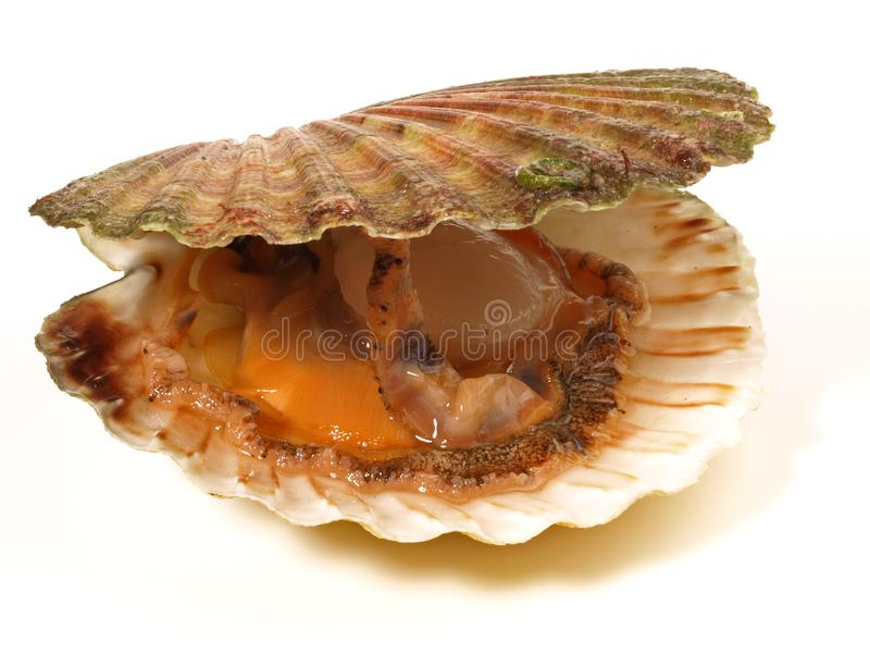 Scallop in the Shell stock photo