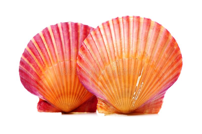 Scallop in Shell. Isolated on a white background royalty free stock images