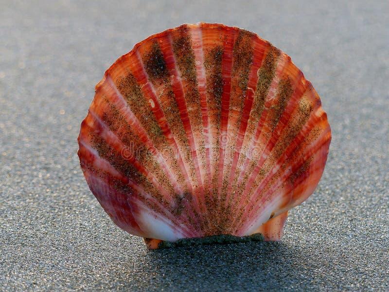 Scallop Shell. Free Public Domain Cc0 Image