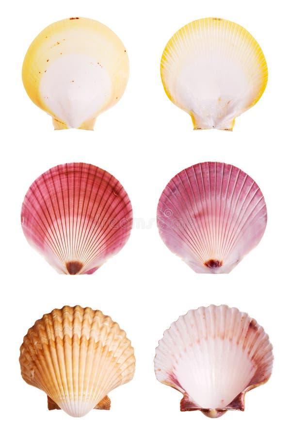 Scallop shells stock photo