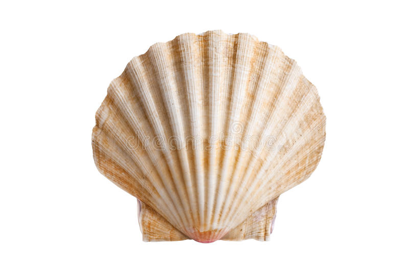 Scallops shell. (See Pectinidae) on the white background