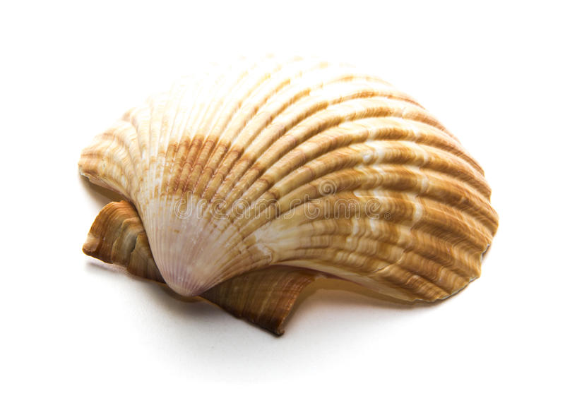 Scallops shell on the white background royalty free stock photo