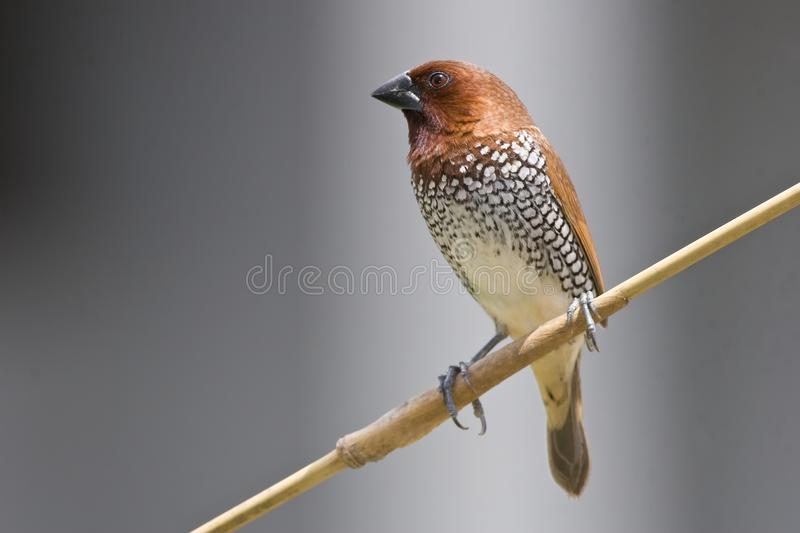 Scaly breasted munia royalty free stock photo