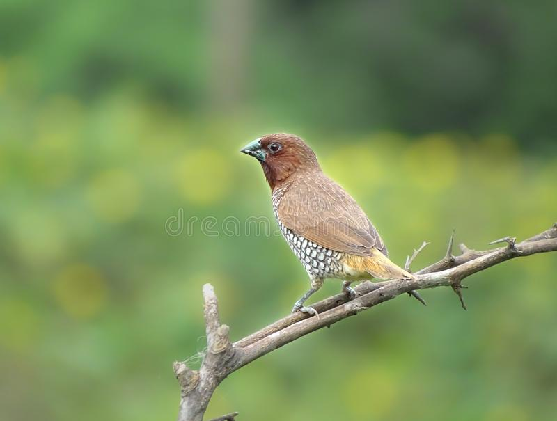 Scaly breasted munia obrazy stock