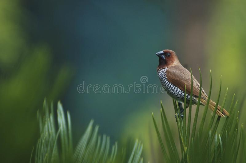 Scaly breasted Munia Bird with colourful back drop royalty free stock images