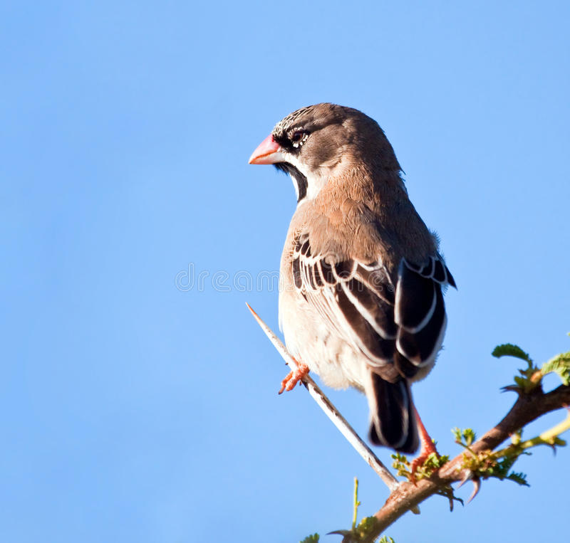 Scaly-feathered finch. Sitting on a thorn branch in the sun stock photo