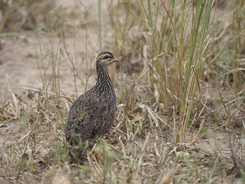 Scaly francolin, Pternistis squamatus. Single bird on ground, Uganda, August 2018 stock image