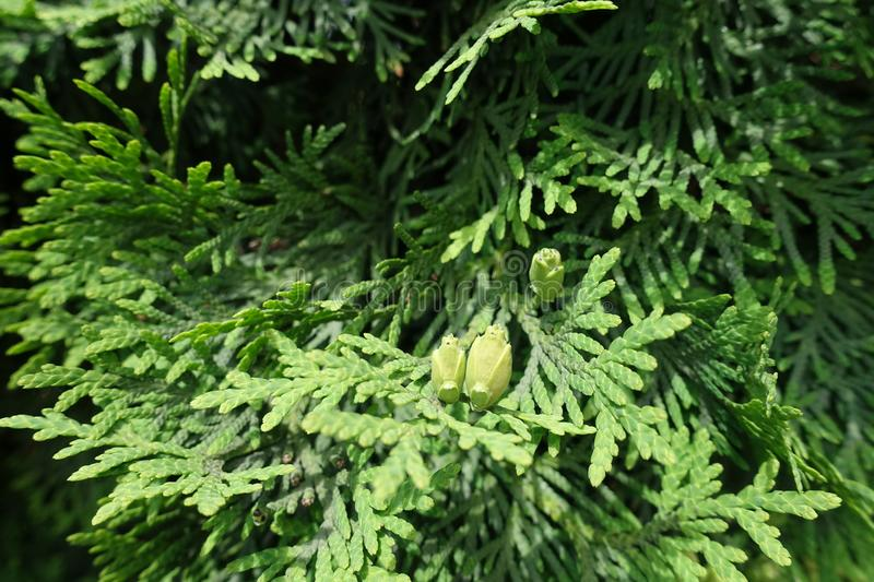 Scaly leaves and seed cones of Thuja occidentalis stock photography