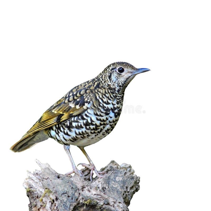 Scaly trastfågel royaltyfria bilder