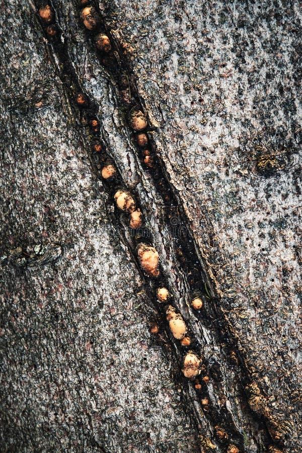 Scanalatura dopo fulmine sulla corteccia di un albero fotografie stock