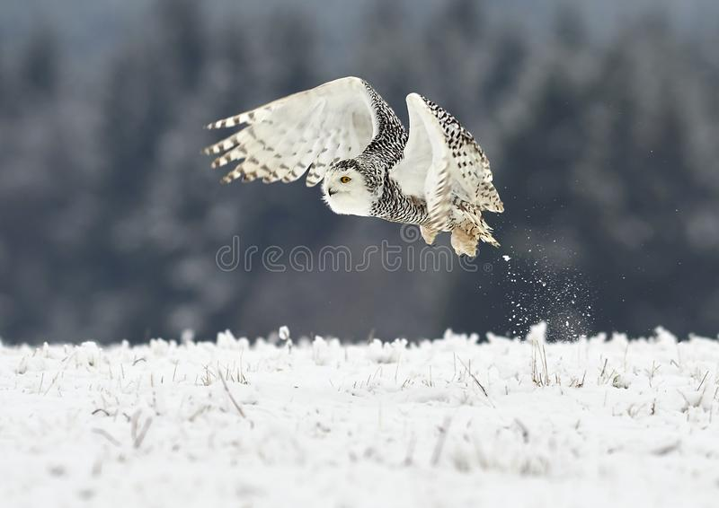 Scandiacus Bubo сыча Snowy стоковые фотографии rf