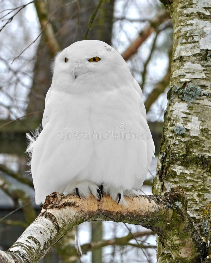 Scandiacus nevado do bubão da coruja, grande, coruja branca da família típica da coruja macho imagens de stock
