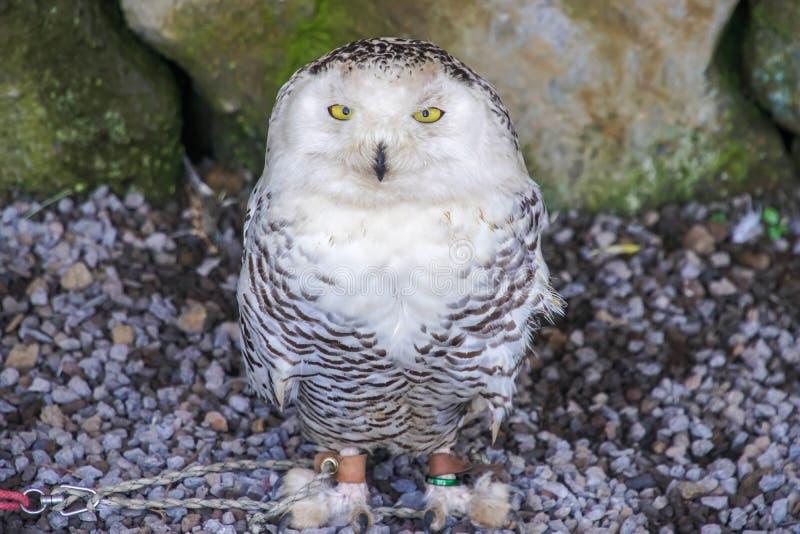 Scandiacus Snowy Owl Bubo angekettet an Stange Tiergewalttätigkeits-Konzept stockfotos
