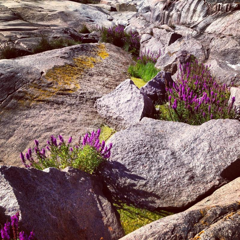 Scandinavian flowers in rocks royalty free stock photo