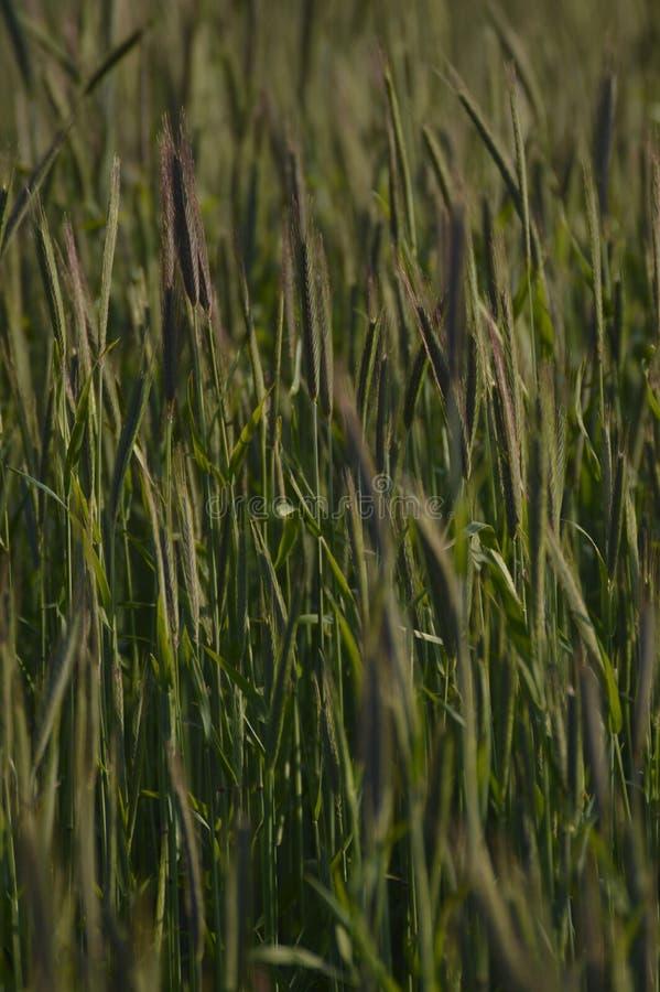 Scandinavian wheat royalty free stock image
